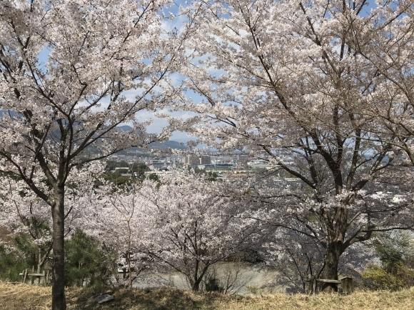 三井寺の桜と石碑 2020_f0010195_18152901.jpeg