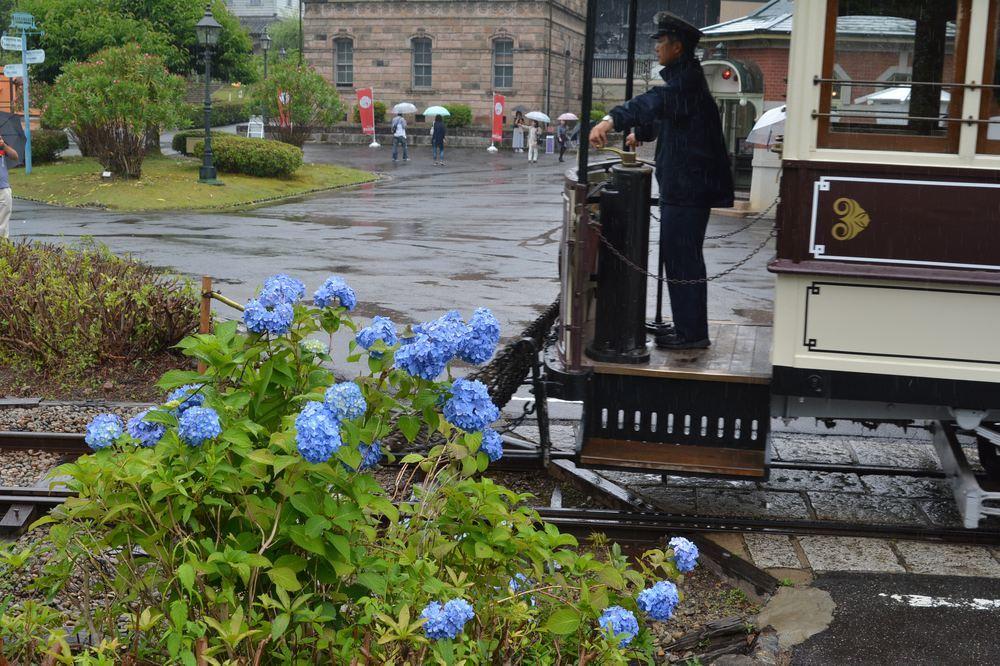 七条電停の市電と紫陽花_e0373930_21144648.jpg