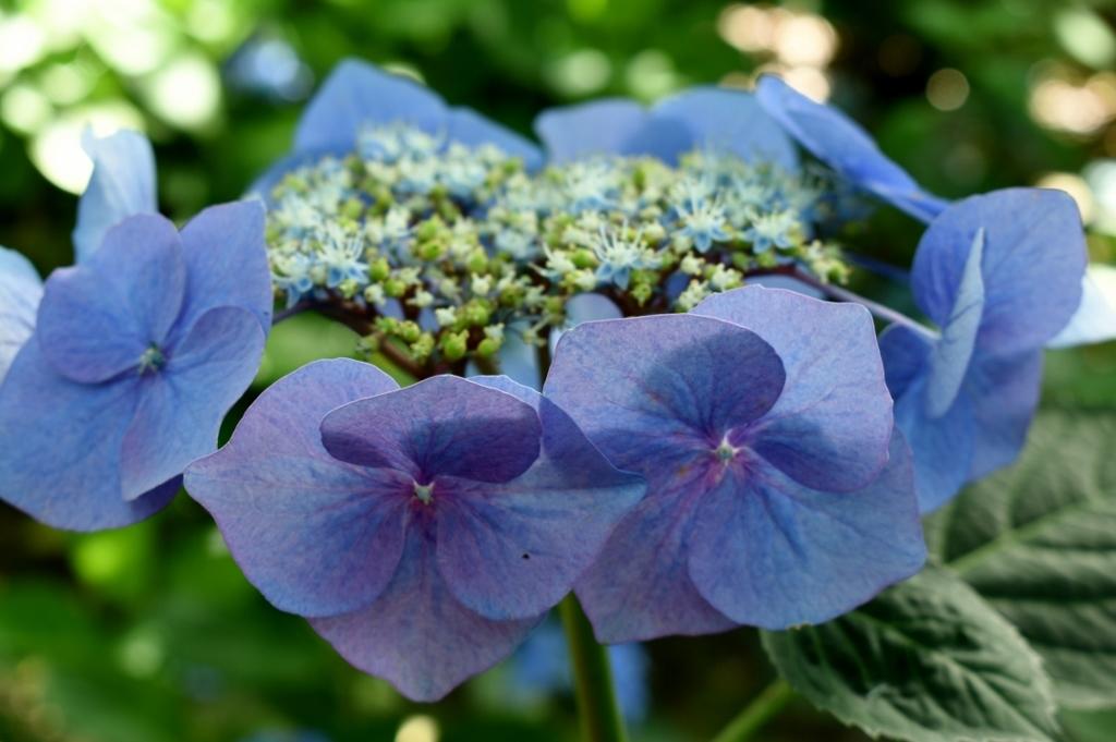 海に咲く紫陽花_a0355356_06073952.jpg
