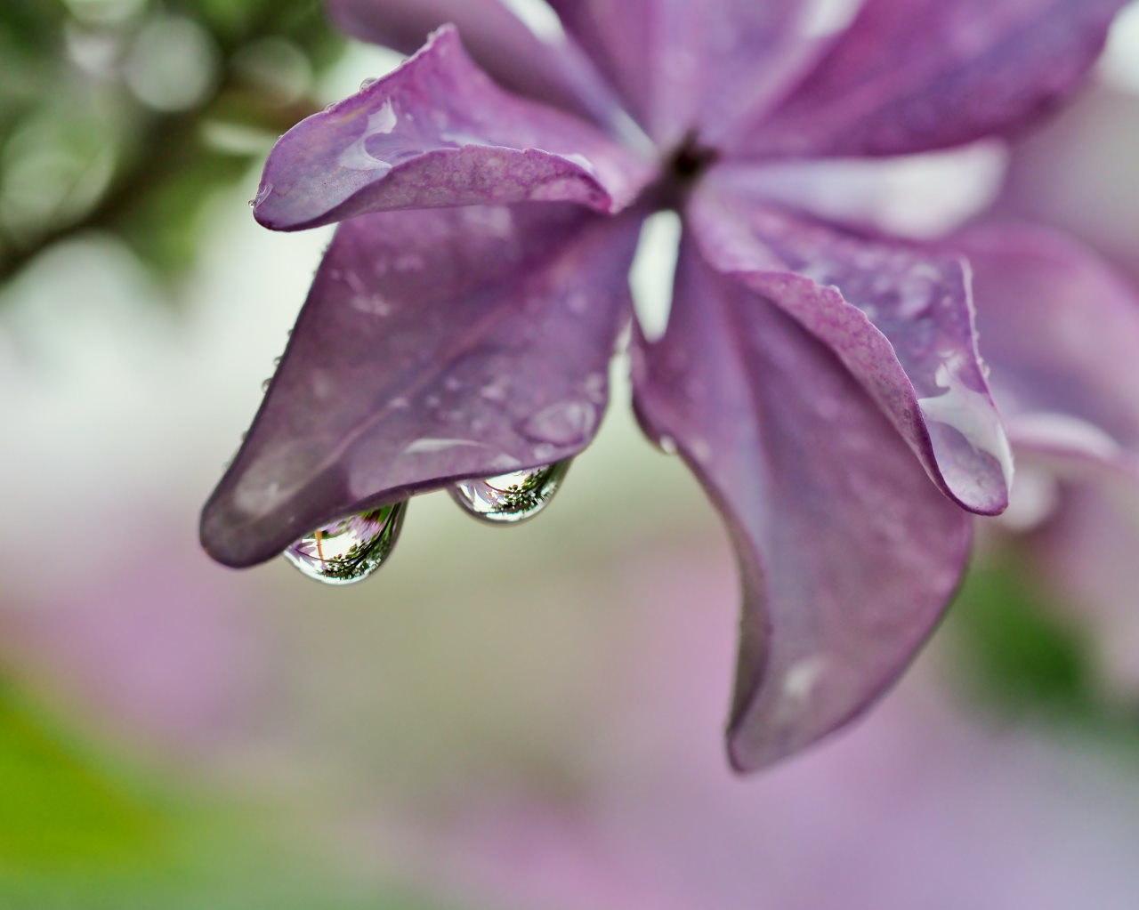 梅雨さなか アジサイなど色々と_c0305565_17261799.jpg
