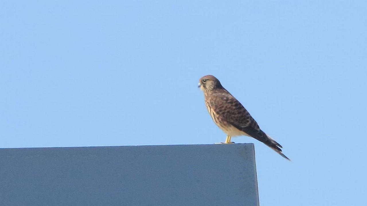 今日は自宅ベランダからチョウゲンボウ幼鳥_f0105570_21342422.jpg
