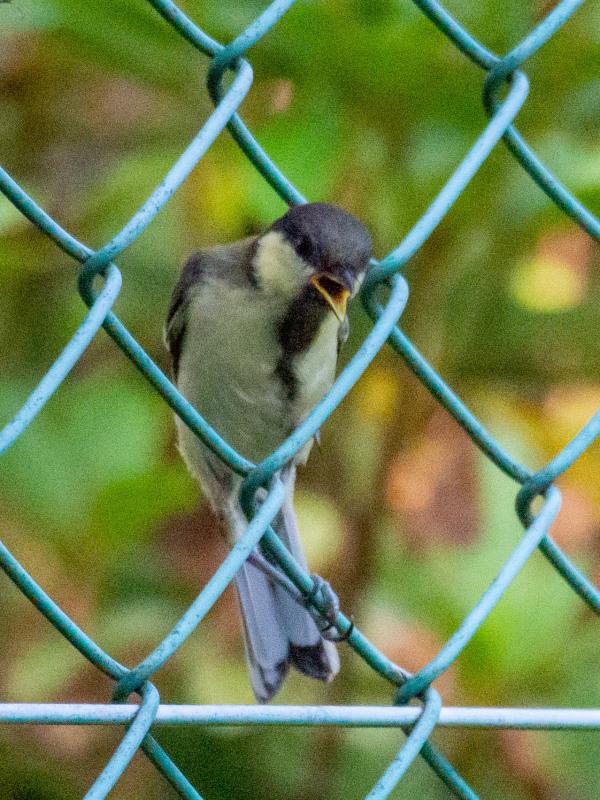 幼鳥  (シジュウカラ)  2020/06/19_d0146592_00071978.jpg