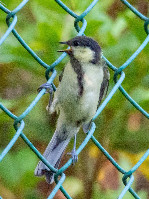 幼鳥  (シジュウカラ)  2020/06/19_d0146592_00075348.jpg
