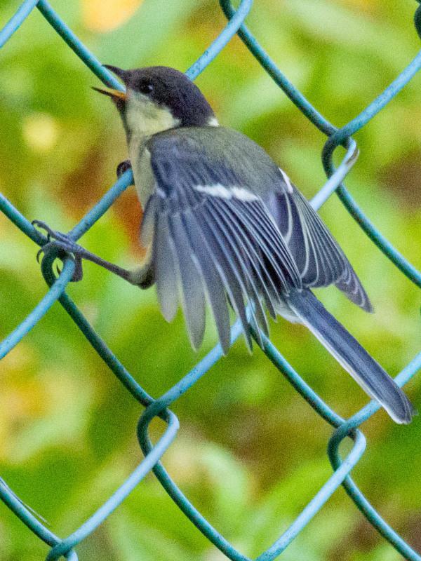 幼鳥  (シジュウカラ)  2020/06/19_d0146592_00082103.jpg
