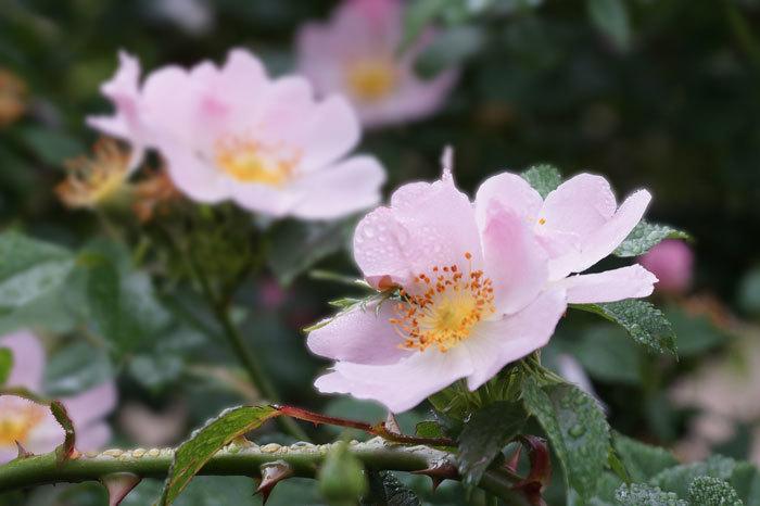 薔薇の水滴_d0162994_08293061.jpg