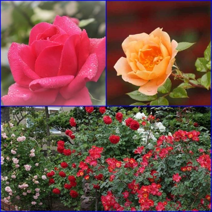 薔薇の水滴_d0162994_08295544.jpg