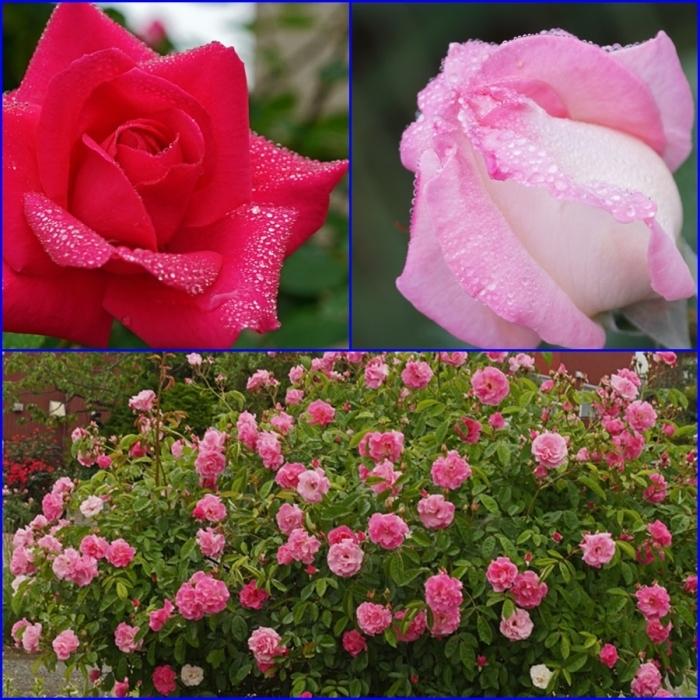 薔薇の水滴_d0162994_08300506.jpg
