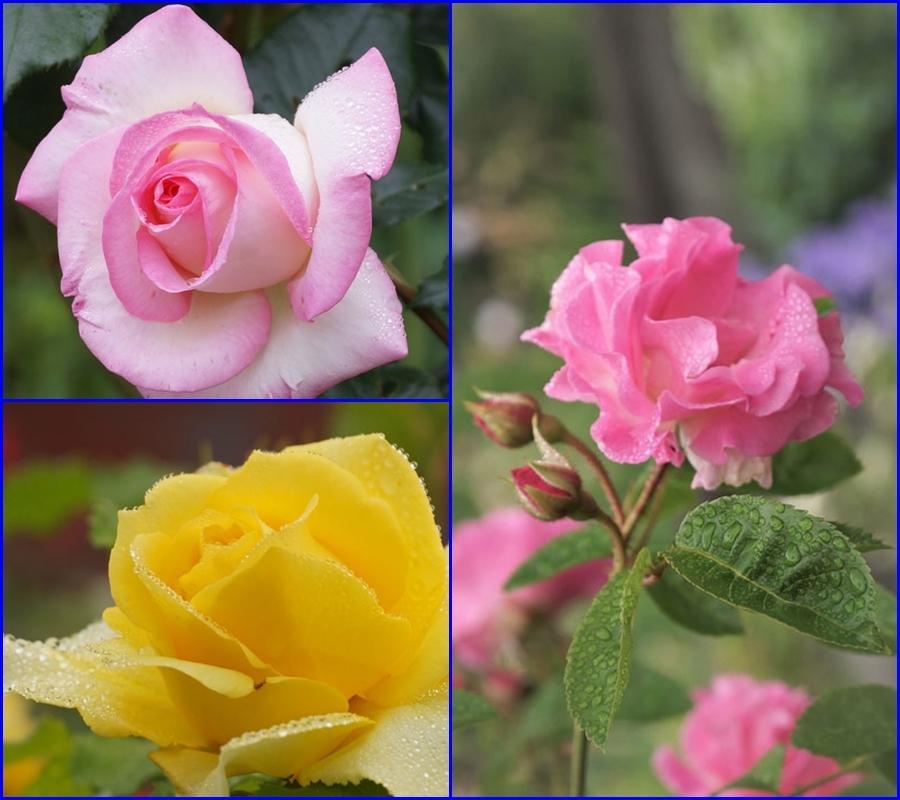 薔薇の水滴_d0162994_08301577.jpg