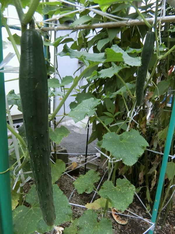 6月22日(月)家庭菜園_d0278912_11562990.jpg