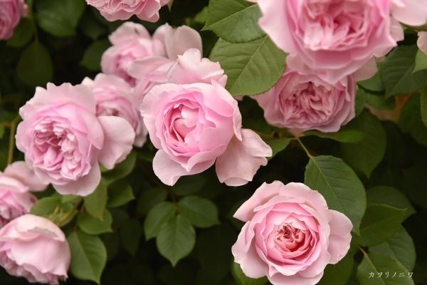 薔薇に酔いしれる日々_d0380314_13452480.jpg