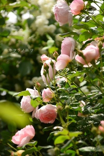 薔薇に酔いしれる日々_d0380314_13460145.jpg