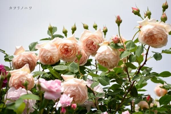 薔薇に酔いしれる日々_d0380314_13460655.jpg