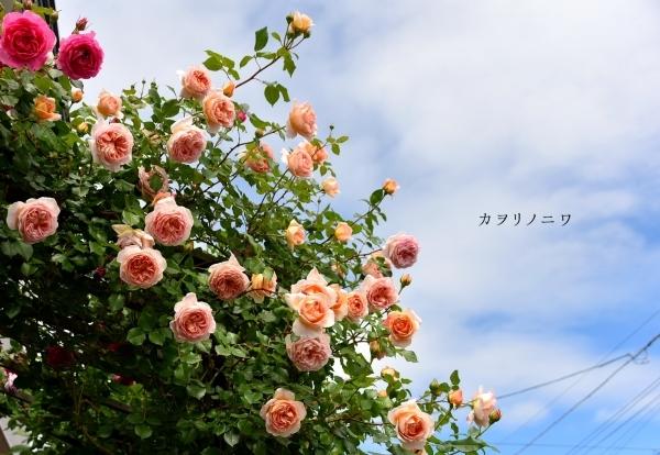 薔薇に酔いしれる日々_d0380314_14591854.jpg