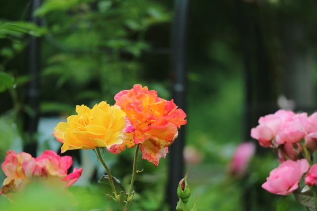 まだまだバラと紫陽花と。おまけのアスチルベ♥_e0397815_22430637.jpg