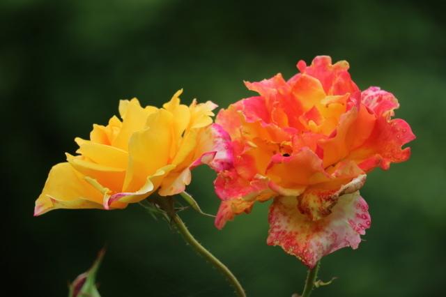 まだまだバラと紫陽花と。おまけのアスチルベ♥_e0397815_22431230.jpg