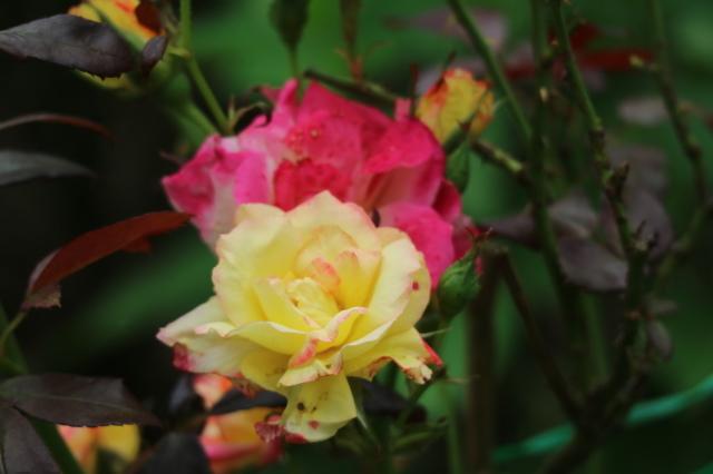 まだまだバラと紫陽花と。おまけのアスチルベ♥_e0397815_22431860.jpg