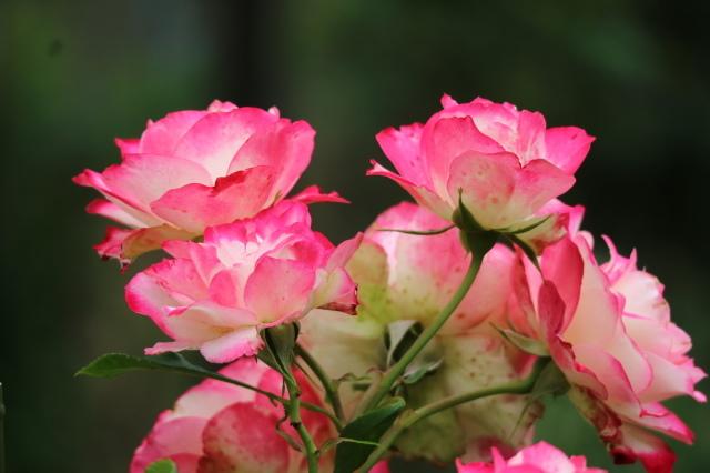 まだまだバラと紫陽花と。おまけのアスチルベ♥_e0397815_22504446.jpg
