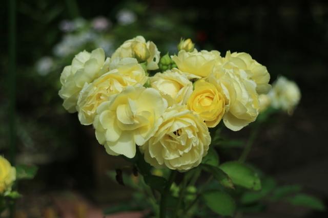 まだまだバラと紫陽花と。おまけのアスチルベ♥_e0397815_22541301.jpg