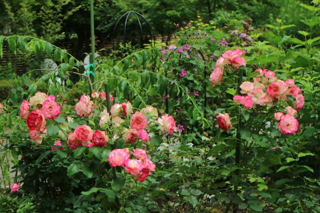 まだまだバラと紫陽花と。おまけのアスチルベ♥_e0397815_22570554.jpg