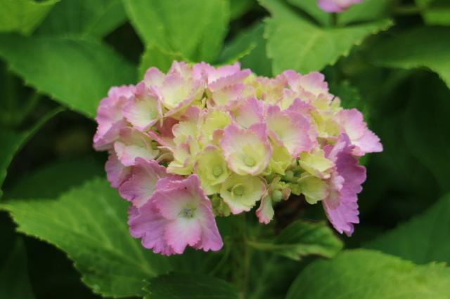 まだまだバラと紫陽花と。おまけのアスチルベ♥_e0397815_22583290.jpg