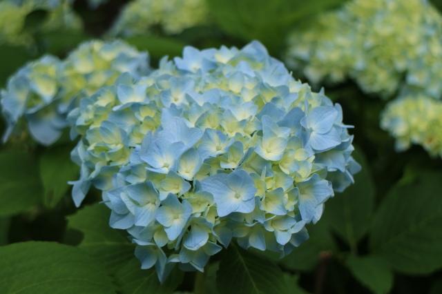 まだまだバラと紫陽花と。おまけのアスチルベ♥_e0397815_22583948.jpg