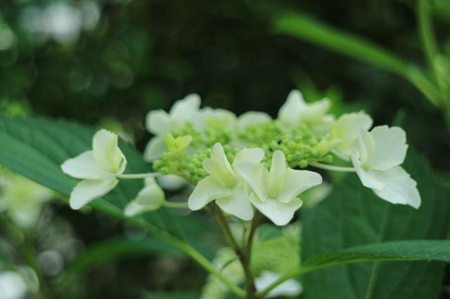 まだまだバラと紫陽花と。おまけのアスチルベ♥_e0397815_22584545.jpg
