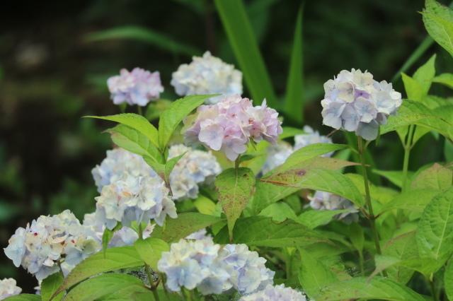 まだまだバラと紫陽花と。おまけのアスチルベ♥_e0397815_23013636.jpg