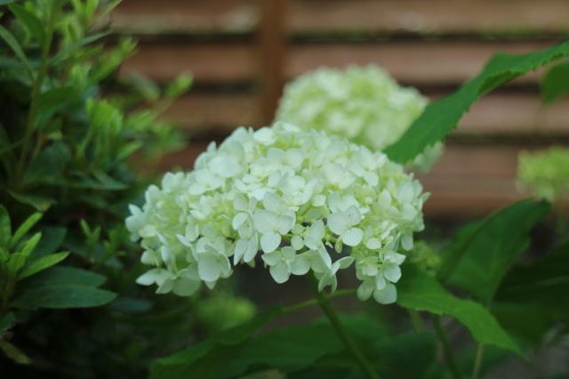まだまだバラと紫陽花と。おまけのアスチルベ♥_e0397815_23020447.jpg
