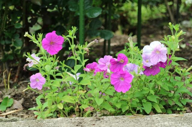 まだまだバラと紫陽花と。おまけのアスチルベ♥_e0397815_23053780.jpg