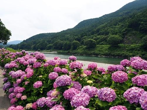紫陽花ロード_f0129726_20214277.jpg