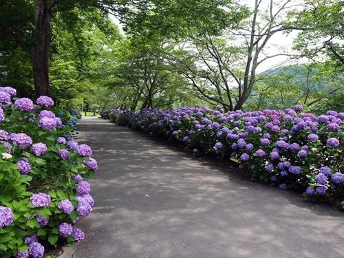 紫陽花ロード_f0129726_20214406.jpg