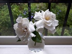 【くちなしの花】_e0093046_09364799.jpg