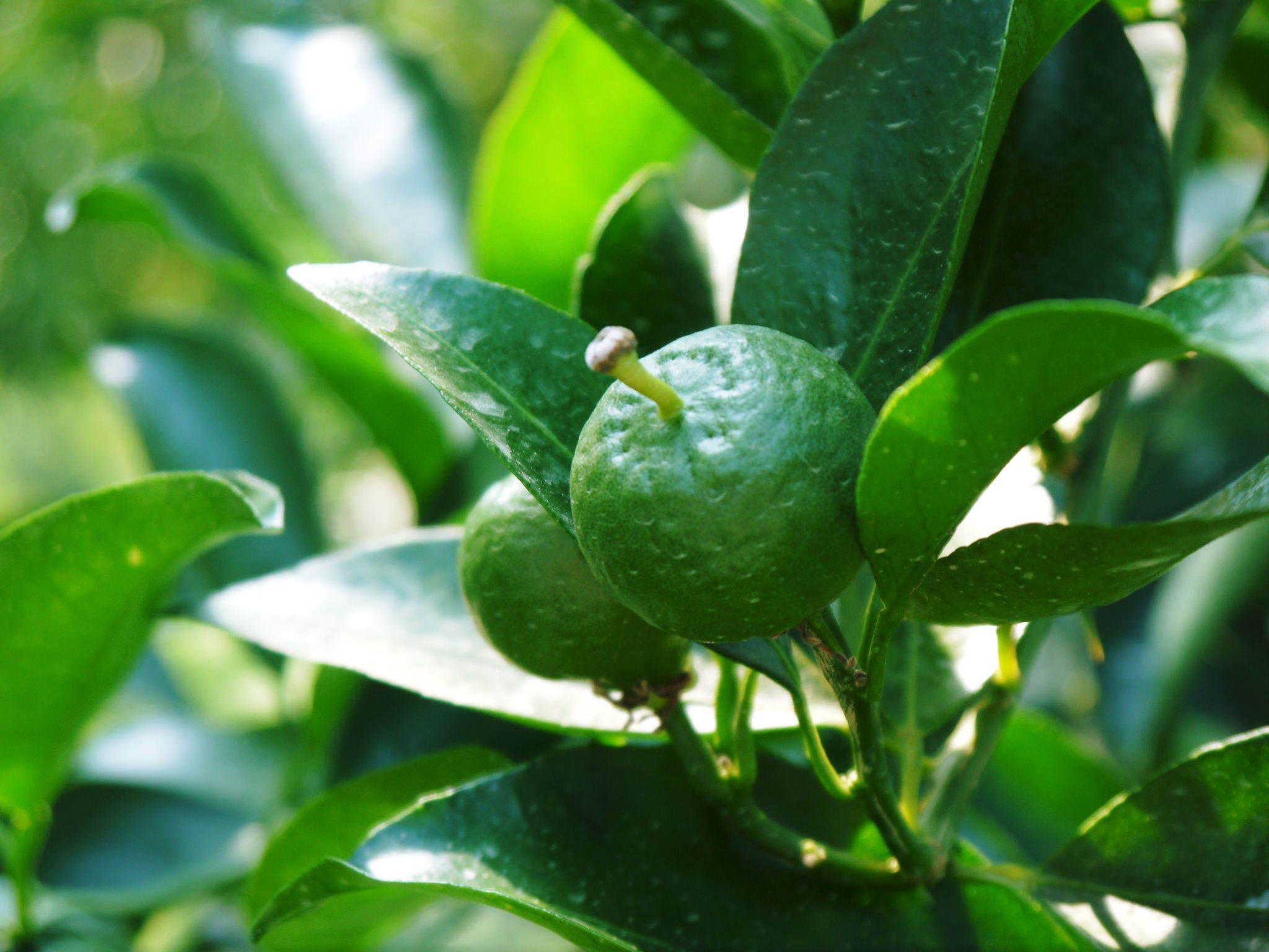 """究極の柑橘「せとか」 着果の様子(2020) 惜しまぬ手間ひまと匠の技で""""本物""""と呼べる美味しさに育てます_a0254656_18170825.jpg"""