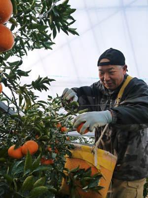 """究極の柑橘「せとか」 着果の様子(2020) 惜しまぬ手間ひまと匠の技で""""本物""""と呼べる美味しさに育てます_a0254656_18394520.jpg"""