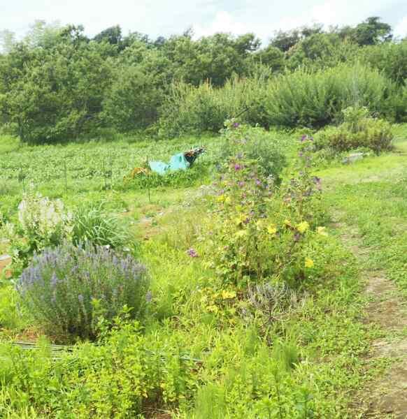 梅雨の合間に畑の草むしり_d0345667_19143920.jpg