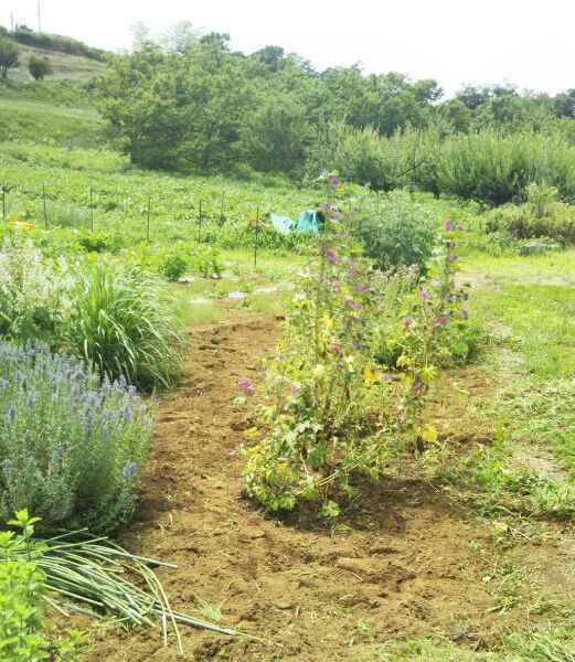 梅雨の合間に畑の草むしり_d0345667_19145737.jpg