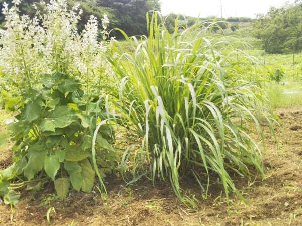 梅雨の合間に畑の草むしり_d0345667_19443635.jpg