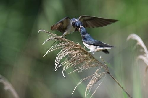 ★幼鳥が多く観察されています・・・先週末の鳥類園(2020.6.20~21)_e0046474_23360364.jpg