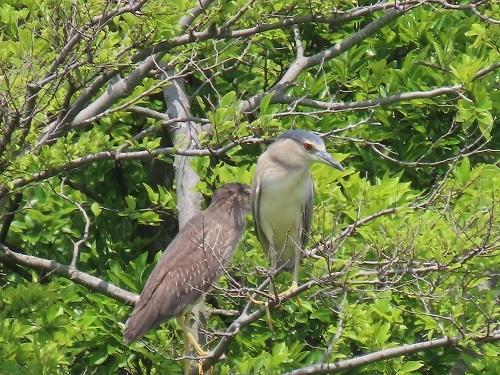 ★幼鳥が多く観察されています・・・先週末の鳥類園(2020.6.20~21)_e0046474_23361527.jpg