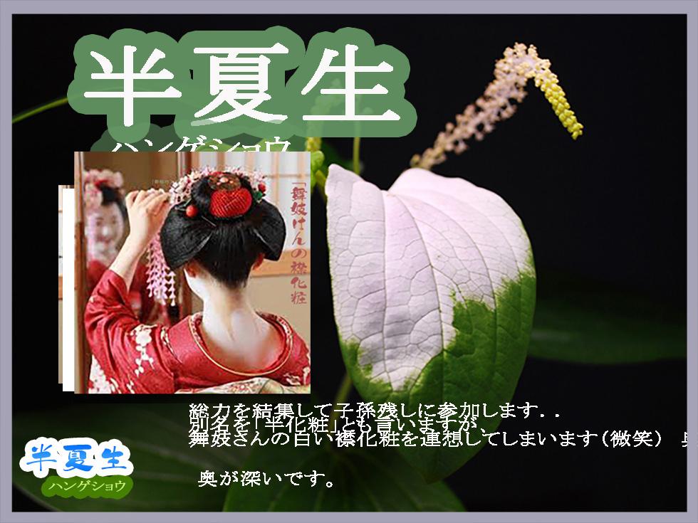 「花たち -半夏生(ハンゲショウ)_c0009981_05385658.jpg