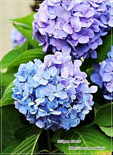 鮭とと大葉のおむすび弁当と作りおきと普通の紫陽花♪_f0348032_15342758.jpg