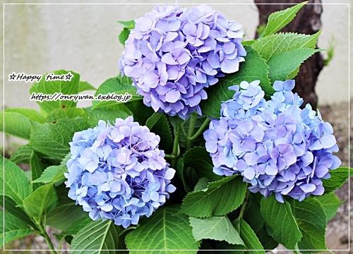 鮭とと大葉のおむすび弁当と作りおきと普通の紫陽花♪_f0348032_15343551.jpg