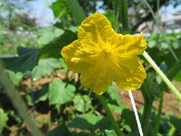 2020年7月3日 夏野菜の花  !(^^)!_b0341140_18560475.jpg