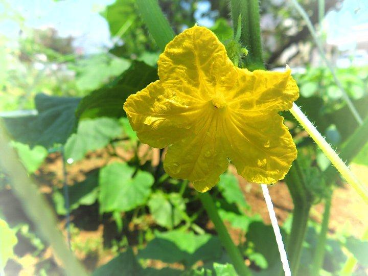 2020年7月3日 夏野菜の花  !(^^)!_b0341140_18561038.jpg