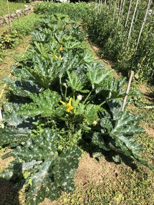 野菜畑\'20_d0136540_05173376.jpg
