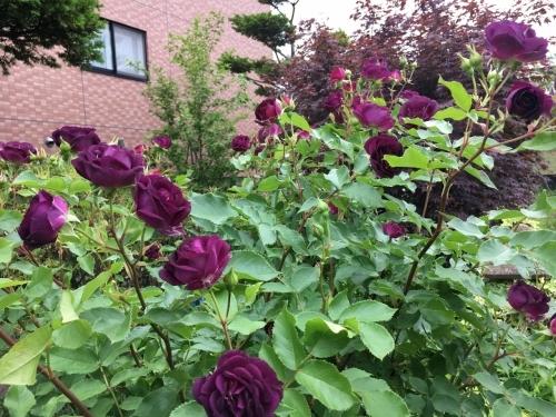 バラ、ばら、薔薇の季節ですよ~ん♪_e0326953_13195939.jpg
