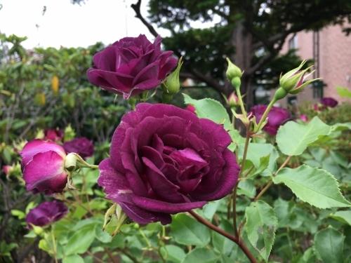 バラ、ばら、薔薇の季節ですよ~ん♪_e0326953_13230938.jpg