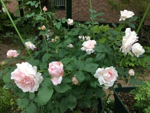 バラ、ばら、薔薇の季節ですよ~ん♪_e0326953_13313981.jpg
