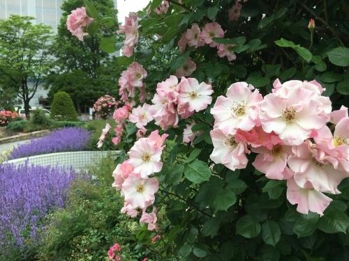 バラ、ばら、薔薇の季節ですよ~ん♪_e0326953_13553799.jpg