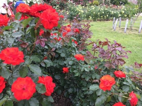 バラ、ばら、薔薇の季節ですよ~ん♪_e0326953_13560725.jpg